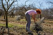 picture of spring-cleaning  - Caucasian woman spring cleaning the orchard gathering cut branches to throw them away - JPG