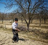 image of spring-cleaning  - Senior farmer spring cleaning the orchard carrying cut branches to throw them away - JPG