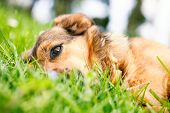 stock photo of dog eye  - Dog in grass - JPG