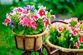 picture of petunia  - Close Up Detail Decorative Vintage Model Old Bicycle Equipped Basket Petunia Flowers Garden Design - JPG