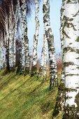 picture of birching  - row of birch trunks on a focus on one of them - JPG