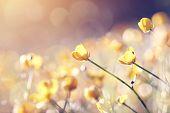 image of buttercup  - Meadow wild - JPG