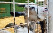 pic of zoo  - Goat with sad face looking through zoo fence - JPG