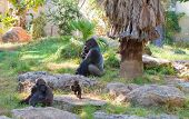 picture of gorilla  - Gorilla alpha male with a female and a playing baby - JPG