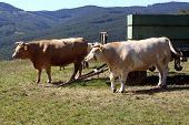 stock photo of cattle breeding  - Two cattle heifers waiting near the cart on the pasture Slovakia - JPG