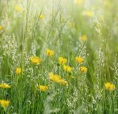 picture of buttercup  - Buttercup flowers in spring - JPG