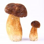 Xerocomus mushrooms