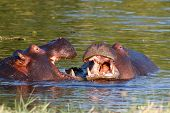 stock photo of tusks  - Two young male hippopotamus Hippopotamus amphibius rehearse fray and figting with open mouth and showing tusk - JPG
