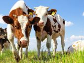 image of calves  - Calves on the field - JPG