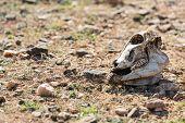 stock photo of cow skeleton  - animal skull lying on the dry ground - JPG
