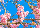foto of fukushima  - Perfect blossom - JPG