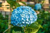 picture of hydrangea  - Purfect blue blossoms of hydrangea flower in a green garden - JPG