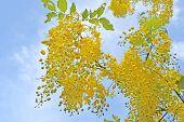 stock photo of vishu  - Golden shower tree - JPG
