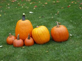 pic of jack-o-laterns-jack-o-latern  - the pumpkins have been picked and are now posing with an autumn back drop - JPG