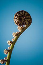 stock photo of fern  - Unravelling Fern Frond Closeup - JPG