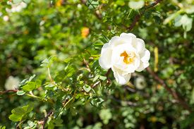 image of wild-brier  - White Wild Rose Flower Hip spring Blossom - JPG