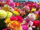 Flower Fields #1