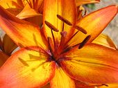 Asiatic Lily:  Giraffe