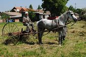 picture of horse plowing  - gathering hay with a machine which was pulled by horses - JPG