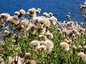 pic of welts  - Faded thistle against the blue water in background - JPG