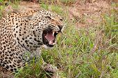African Leopard Snarling