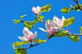 picture of saucer magnolia  - Pink abloom magnolia flower in sunny spring day in front of blue sky - JPG