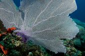 pic of datura  - Large Sea Fan on a reef ledge - JPG