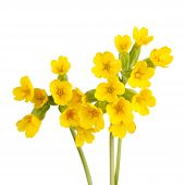 picture of cowslip  - Three stems with yellow flowers of the cowslip  - JPG
