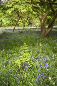 Stunning Vibrant Landscape Image Of Blubell Woods In English Countryside In Spring poster