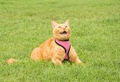 Handsome ginger tabby cat in a pink harness on green summer grass, meowing poster