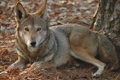 Wolf, Red (Canus rufus)