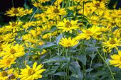Close view of Arnica herb blossoms .