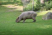 Capybara Eats Grass