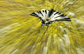butterfly chasing (Swallowtail butterfly)