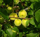 Chinese Plums