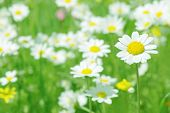 Daisy flowers (selective DOF), spring series B