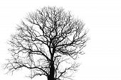 Dead Tree And Branch Isolated On White Background. Black Branches Of Tree Backdrop. Nature Texture B poster