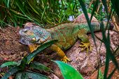 Closeup Of A Colorful Iguana In Different Colors Sitting On A Rock, Popular Tropical Reptile Pet Fro poster
