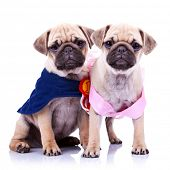 adorable princess and champion pug puppy dogs on white background. the champion mops puppy is sitting and the princess is standing, both looking very curious