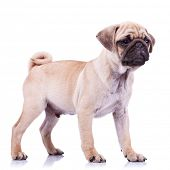full body picture of an alert mops little dog looking at something. standing pug puppy dog looking to a side on white background