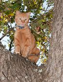 Very worried looking orange tabby cat up in a tree, meowing