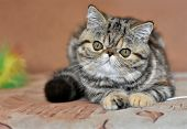 Brown Exotic Shorthair Cat Lying On The Couch And Looking Into The Camera. poster