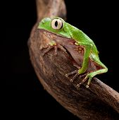 tree frog with big eyes on branch of a tropical tree in amazon rainforest. Macro of beautiful night