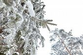Winter Forest. Snow Covered Evergreen Spruce Branch poster