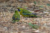 Green Rosella - Platycercus Caledonicus Or Tasmanian Rosella Is A Species Of Parrot Native To Tasman poster