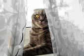 Cat Is Sitting On The Windowsill Behind The Curtain. Grey Pedigree Cat. Big Orange Eyes Is Looking F poster