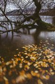 Autumnal Leaves On Derwent Water. Lake District, Uk.