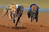 Sprinting Greyhounds