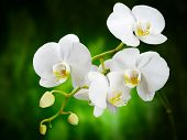 white orchid on the green background