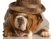 Bulldog With Fedora